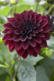VisionsPictures - Dahlia ronaldo variety flower