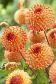 VisionsPictures - Dahlia mirella variety flowers