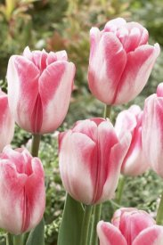 VisionsPictures - Tulip labyrinth variety flowers