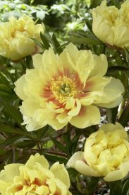VisionsPictures - Peony bartzella variety flowers
