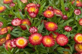 VisionsPictures - Strawflower red variety flowers