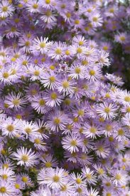 VisionsPictures - Aster pink star variety flowers