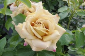 VisionsPictures - Rose honey dijon variety flowers