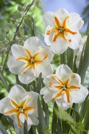 VisionsPictures - Daffodil trepolo variety flowers