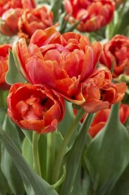 VisionsPictures - Tulip grand rapids variety flowers