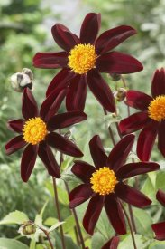 VisionsPictures - Dahlia honka black variety flowers