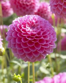 VisionsPictures - Dahlia linda's baby variety flower
