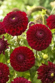 VisionsPictures - Dahlia boom boom red variety flowers