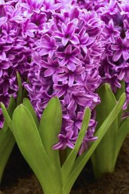 VisionsPictures - Hyacinth miss saigon variety flowers