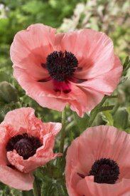 VisionsPictures - Oriental Poppy salmon variety flowers