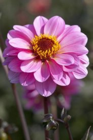 VisionsPictures - Dahlia classic rosamunde variety flower