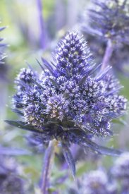 VisionsPictures - Plains Eryngo bethlehem variety flowers