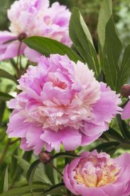 VisionsPictures - Peony mme emile debatene variety flowers