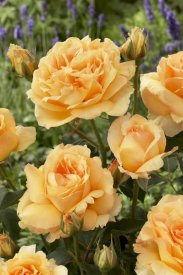 VisionsPictures - Rose solo mio renaissance variety flowers