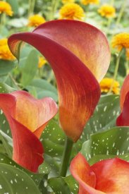 VisionsPictures - Calla Lily captain safari variety flowers