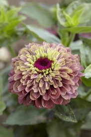 VisionsPictures - Elegant Zinnia queen red lime variety flower