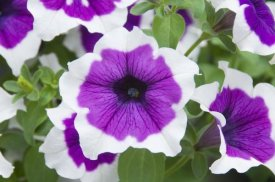 VisionsPictures - Petunia cascadia violet skirt variety flowers