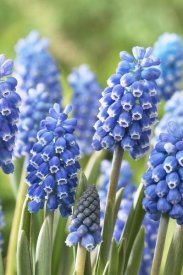 VisionsPictures - Blue Grape Hyacinth blue magic variety flowers
