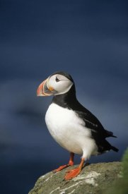 Eric Wanders - Atlantic Puffin adult on rock, Europe