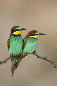 Jan Wegener - European Bee-eater, pair on an old branch, Lake Neusiedl, Austria