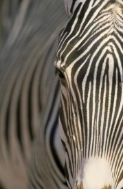 Winfried Wisniewski - Grevy's Zebra close up, Africa