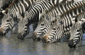 Winfried Wisniewski - Burchell's Zebra group drinking, Africa
