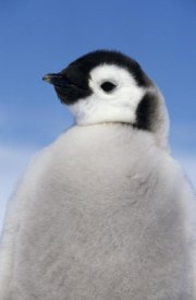 Winfried Wisniewski - Emperor Penguin portrait of chick, Antarctica