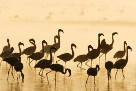Winfried Wisniewski - Lesser Flamingo group at sunrise, Lake Nakuru, Lake Nakuru National Park, Kenya