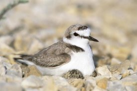 Konrad Wothe - Kentish Plover male at nest, Europe