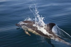 Konrad Wothe - Common Dolphin surfacing, Algarve, Portugal