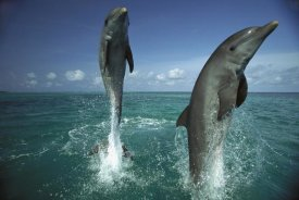 Konrad Wothe - Bottlenose Dolphin pair leaping from water, Caribbean
