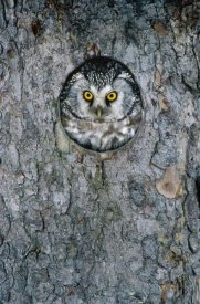 Konrad Wothe - Tengmalm's Owl or Boreal Owl peaking through hole in tree, Sweden