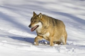 Konrad Wothe - Wolf walking in snow, Bavarian Forest National Park, Bavaria, Germany