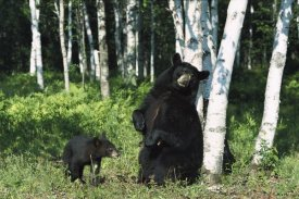 Konrad Wothe - Black Bear sow scratching on Birch tree with cub watching, North America