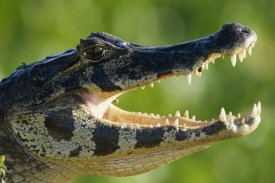 Konrad Wothe - Jacare Caiman or Paraguay Caiman thermoregulating by opening jaws, Pantanal, Brazil
