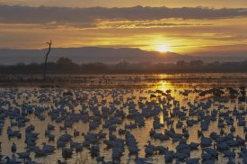 Konrad Wothe - Snow Goose wintering flock at sunrise, Bosque del Apache National Wildlife Refuge, New Mexico