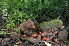 Christian Ziegler - Agouti feeding on seeds, Barro Colorado Island, Panama