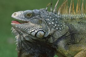 Christian Ziegler - Green Iguana male displaying by extending dewlap and calling, Barro Colorado Island, Panama
