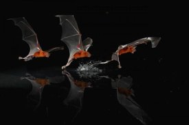 Christian Ziegler - Greater Bulldog Bat fishing, Smithsonian Tropical Research Station, Barro Colorado Island, Panama