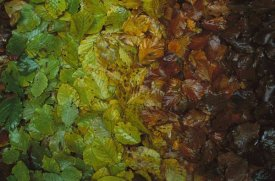 Christian Ziegler - European Beech leaves showing gradual change of colors in fall, Jasmund National Park, Ruegen, Germany