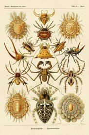 Ernst Haeckel - Haeckel Nature Illustrations: Spiders