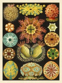 Ernst Haeckel - Haeckel Nature Illustrations: Ascidiae