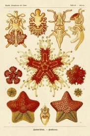 Ernst Haeckel - Haeckel Nature Illustrations: Starfish