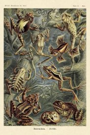 Ernst Haeckel - Haeckel Nature Illustrations: Frogs