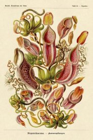 Ernst Haeckel - Haeckel Nature Illustrations: Pitcher Plants