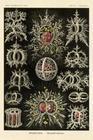 Ernst Haeckel - Haeckel Nature Illustrations: Stephoidea