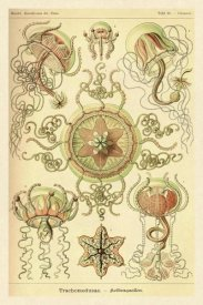 Ernst Haeckel - Haeckel Nature Illustrations: Trachomedusae - Jellyfish