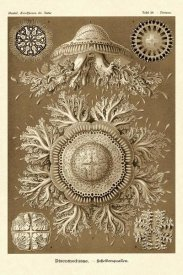 Ernst Haeckel - Haeckel Nature Illustrations: Jelly Fish - Sepia Tint