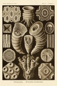 Ernst Haeckel - Haeckel Nature Illustrations: Tetracoralla, Coral - Sepia Tint