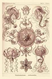 Ernst Haeckel - Haeckel Nature Illustrations: Trachomedusae - Jellyfish - Rose Tint